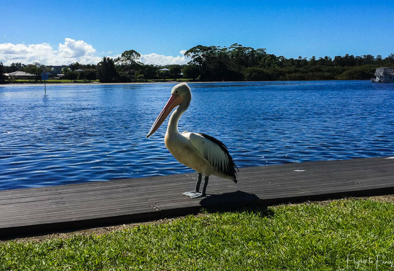 Pelican at Great Lakes Forster Caravan Park