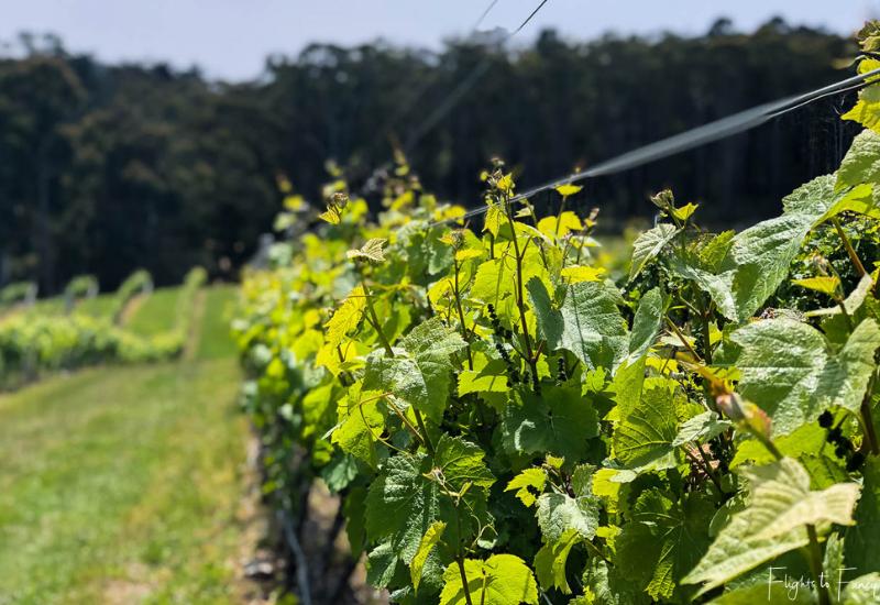 Hobart Wineries: Riversdale Estate Winery Vines